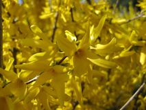 Yellow flowers on branches Royalty Free Stock Photography