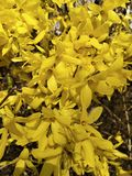 Yellow flowers on the branches. Yellow flowers of forsythia viridissima royalty free stock photo