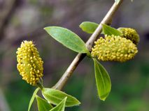 Yellow flowers on the branches of a pussy-willow Stock Photos