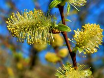 Yellow flowers on the branches of a pussy-willow Stock Images