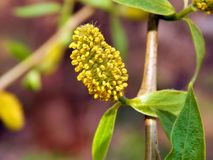Yellow flowers on the branches of a pussy-willow Royalty Free Stock Photography