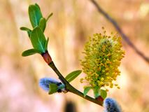 Yellow flowers on the branches of a pussy-willow Stock Photography