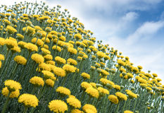 Yellow flowers. Bright yellow daisy like flowers standing tall Stock Image