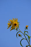 Yellow flowers in the brilliant blue sky. Bright yellow cluster of flowers with nothing but the brilliant bright blue sky as a background stock photos