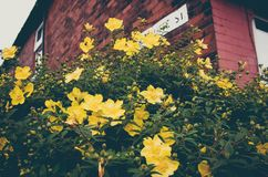 Yellow Flowers and Brown Brick Wall. Yellow Flowers on Brick Wall Royalty Free Stock Photos