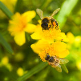 Yellow flowers and buds from. Hypericum densiflorum with honeybees gathering pollen in summer Royalty Free Stock Photography