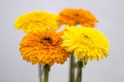 Four yellow flowers Stock Images