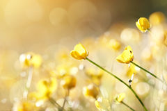 Yellow flowers of a buttercup Royalty Free Stock Images