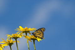 Yellow Flowers and Butterfly. Some yellow flowers and a buttefly with a blue sky background royalty free stock photo