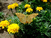 Yellow flowers and butterfly Royalty Free Stock Images