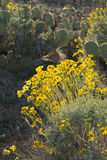 Yellow flowers and cactuses, Arizona, USA. Stock Photo