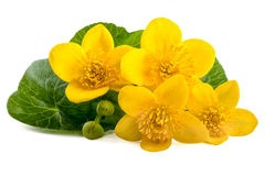Yellow flowers of caltha (Caltha palustris) on white Royalty Free Stock Photography