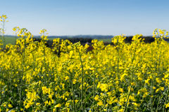 Yellow flowers in a canola field Royalty Free Stock Images