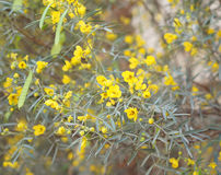 Yellow flowers of cassia. Beautiful yellow tiny flowers of cassia Royalty Free Stock Photography
