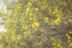 Yellow flowers of cassia. Beautiful yellow tiny flowers of cassia Stock Images