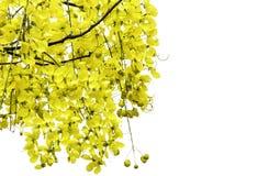 Yellow flowers , Cassia javanica Royalty Free Stock Image
