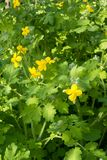 Yellow flowers of celandine Chelidonium among green foliage on a warm sunny day. Medicinal plant with healing properties. weed royalty free stock photos