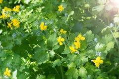 Yellow flowers of celandine Chelidonium among green foliage on a warm sunny day. royalty free stock photography