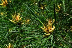 Yellow flowers in centre of spiked branches of large coniferous evergreen tree of Pinus family Royalty Free Stock Photo