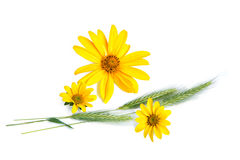 Yellow flowers and cereal plants Stock Photos