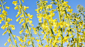 Yellow flowers. Chinese cabbage are blossomed against the blue sky Stock Photography