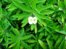 Yellow flowers of christ plant. Crown of thorns, christ yhorn, christ plant, christ`s thorn, siamese lucky plant or dwarf crown - Euphorbia milii is a species of royalty free stock image