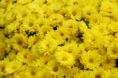 Yellow flowers - Chrysanthemum Royalty Free Stock Photos