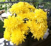 Yellow flowers of chrysanthemum in garden on sunny day, Beautiful blooming potted mums flower decorate on the wooden table, closeu Royalty Free Stock Photo