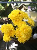 Yellow flowers of chrysanthemum in garden on sunny day, Beautiful blooming potted mums flower decorate on the wooden table, top vi Royalty Free Stock Photography