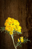Yellow Flowers Cineraria Silver Dust Dark Rough Wood Background Royalty Free Stock Photos