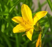 Yellow flowers, citron day-lily or long yellow day-lily stock photos