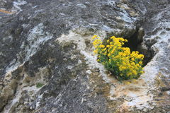 Yellow flowers in the cliff Royalty Free Stock Photo