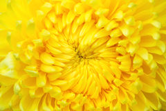 Yellow flowers. Close-up of yellow flowers background Stock Photo