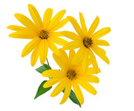 Yellow flowers close-up. Yellow flowers isolated on a white background Stock Photo