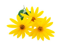 Yellow flowers close-up. Yellow flowers isolated on a white background Royalty Free Stock Photo