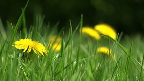Yellow flowers close up. Natural environment stock footage