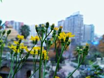 Yellow flowers. Closeup of Beautiful spring yellow flowers with city view as background Royalty Free Stock Photography
