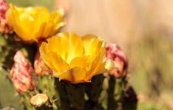Yellow flowers on a coast barrel cactus, Ferocactus viridescens. Yellow flowers on a coast barrel cactus, San Diego barrel cactus, also called Ferocactus royalty free stock photo