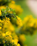 Yellow flowers of the common gorse bush with a blurry background Stock Image
