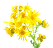 Yellow flowers of Common ragwort & x28;Jacobaea vulgaris& x29; isolated on white background. Medicinal plant Stock Photography
