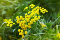 Yellow flowers of common tansy, Tanacetum vulgare. stock image