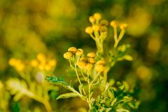Yellow flowers of common tansy, Tanacetum vulgare Stock Images