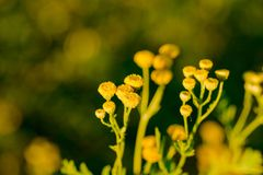 Yellow flowers of common tansy, Tanacetum vulgare Royalty Free Stock Photo