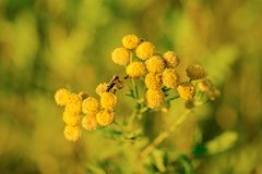Yellow flowers of common tansy, Tanacetum vulgare Royalty Free Stock Photos