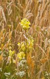 Common toadflax and Hedge bedstraw Stock Image