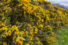 Yellow flowers on a common whin bush or gorse displaying their full spring glory in County Down Northern Ireland. These heavily th. The ever popular yellow stock photography