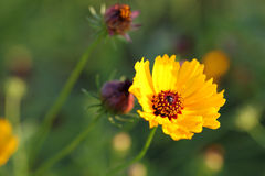 Yellow flowers. Cosmos yellow flowers in park royalty free stock photo