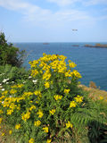 Yellow flowers at the cost of ocean in Brittany, Stock Photo