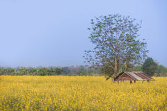 Yellow flowers and cottage. A lot of yellow flower in field and a mini cottage Stock Images
