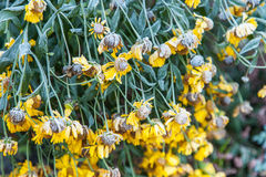 Yellow flowers covered with rime Stock Photos